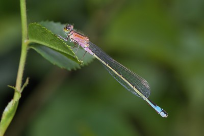 Immature form - Rufescens - Blue Tailed Damselfly