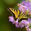 Papilio rutulus | Western tiger swallowtail