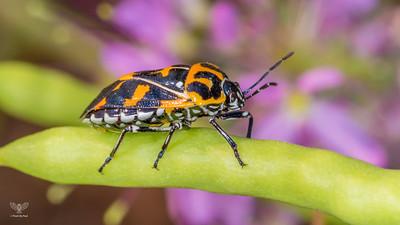 Murgantia histrionica (Harlequin Bug)