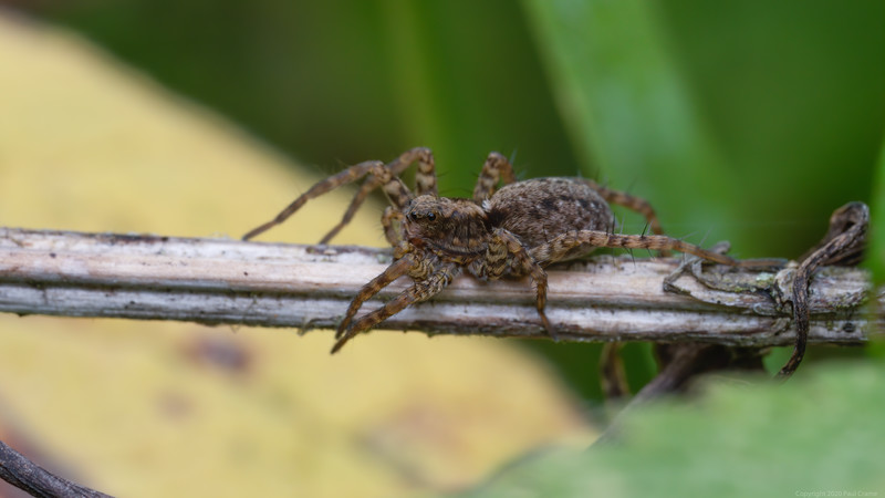 A Passing Spider