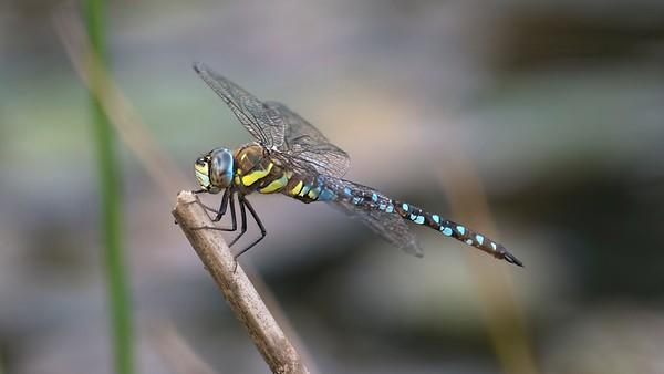 Common Hawker Dragonfly Perched  - Aeshna Juncea - Decoy Heath