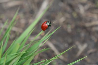 No Spot Ladybird - Decoy Heath 2