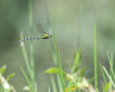 Southern Hawker Dragonfly in flight over Sole Common