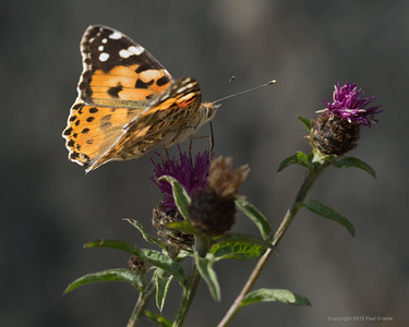 Painted Lady Butterfly 5 - Rhayader 2019