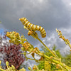 Cucullia verbasci (caterpillar) (?) | Mullein moth | Königskerzen-Mönchseulenfalter