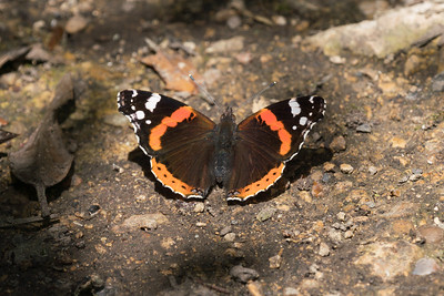 Red Admiral Butterfly at Snelsmore 2
