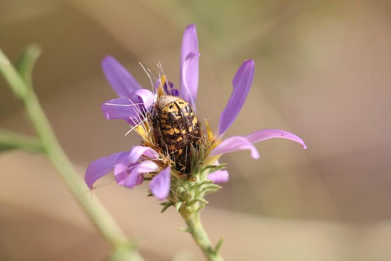 Euphoria kernii - Kern's Flower Scarab