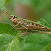 Reflected in a Meadow Grasshoppers eye  at Decoy Heath