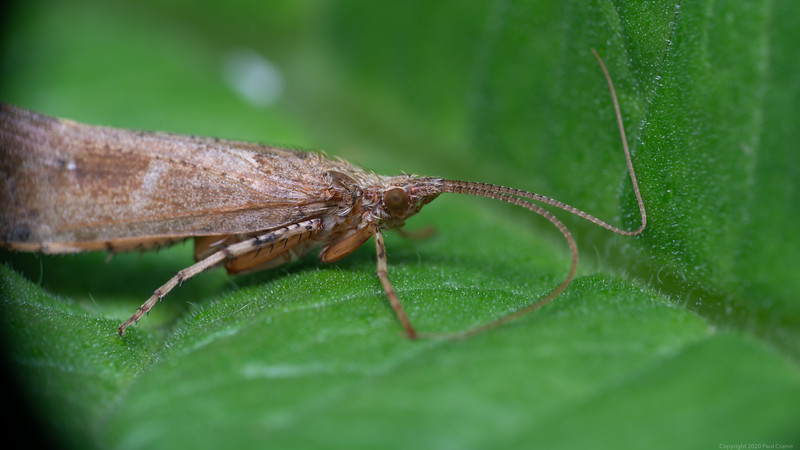 Day Moth inside folded leaf