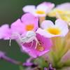 Misumena vatia, Goldenrod Crab Spider