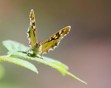 Speckled Wood Butterfly in Bowdown Woods