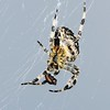 Garden Spider, Araneus diadematus,  on Greenham Common with lunch