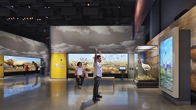 Prairie Crane Dance, Minnesota Journeys Gallery, Bell Museum
