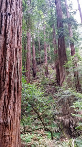 MuirWoods-RedWoodTrees2