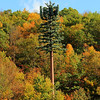 Yes this is a cell tower disguised as a Pine Tree!!! Photo taken 10-15-2011 in Ulster County NY.