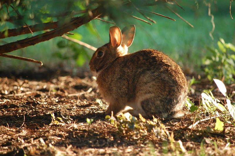 An Adelphi bunny enjoying the sunshine on campus.