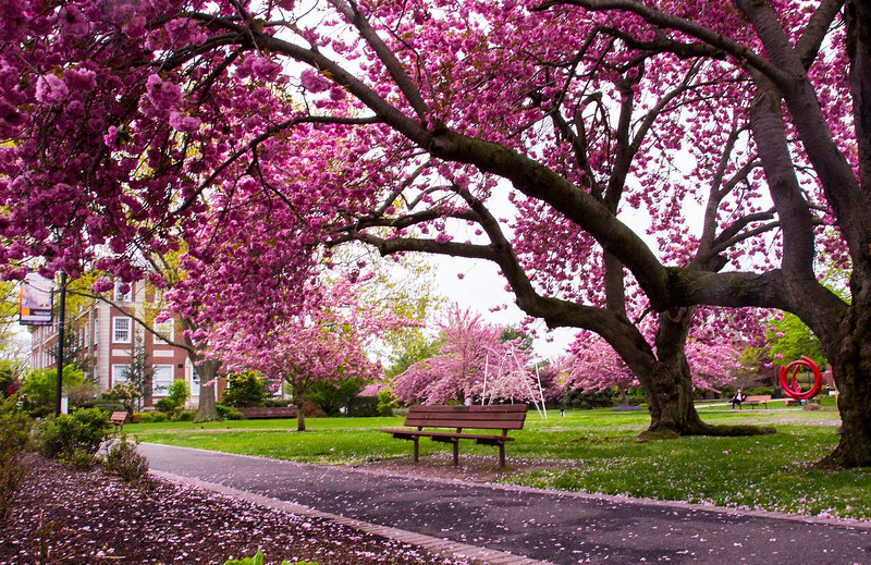 When the trees are in bloom Adelphi University is simply breathtaking.