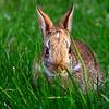 Bunnies are all over Adelphi's Garden City campus.
