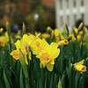 Daffodils with Hagedorn Hall and the Ruth S. Harley University Center in the background.