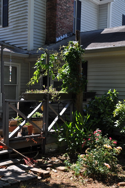 An evergreen clematis grows on an arbor over the rear deck of the home.  Below is a ginger plant and more roses.