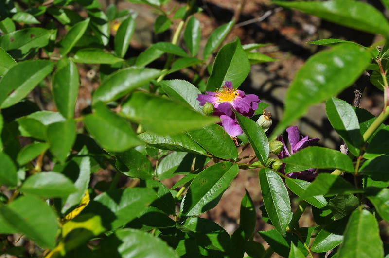 A closeup of the purple rose.