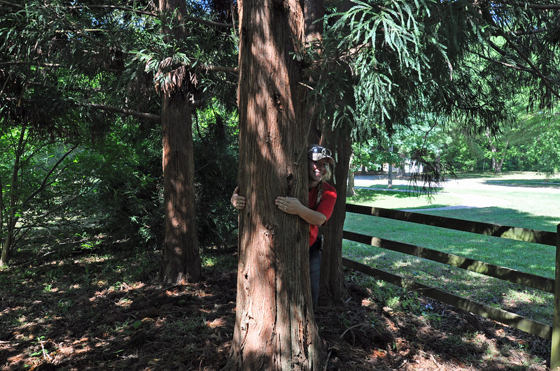 Melissa Allman demonstrates the trunk size of one of the three large cryptomeria trees--also known as Japanese cedar--that are on the property.