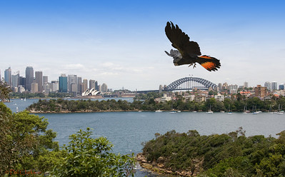 Red Tailed Black Cockatoo, Sydney harbour and skyline background.