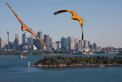 Sydney Harbour with Black Kites on the wing.