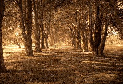 Avenue of trees, Morpeth, NSW (HDR format))