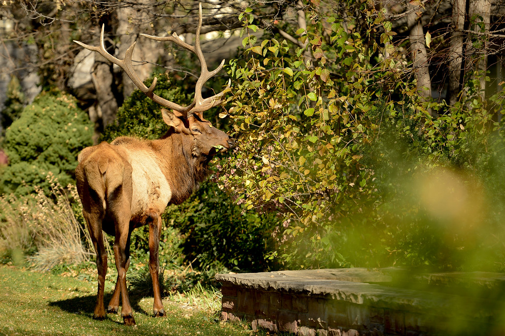 . BOULDER, CO - NOVEMBER 9:A bull elk grazes on leaves in a yard on the 500 Block of Pine Street in Boulder on Nov. 9, 2018. (Photo by Matthew Jonas/Staff Photographer)