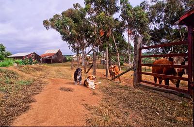 Oreo, Ceba and calf.  Bumann ranch, Olivenhain, California.