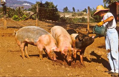 Twink watering bigs.  Bumann ranch, Olivenhain, California.  2004