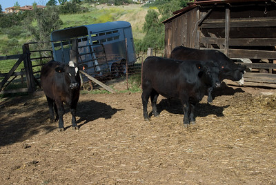 Steers in corral.  Bumann ranch, Olivenhain, California.  2010