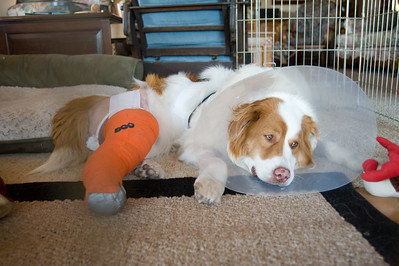 I don't feel good.  Sage after operation.  Bumann ranch, Olivenhain, California.  2013
