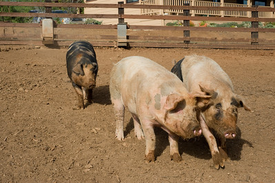 pigs.   Bumann ranch, Olivenhain, California.  2015