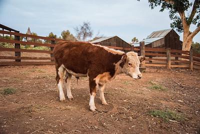 Herford steer.  Bumann ranch, Olivenhain, California. 2016