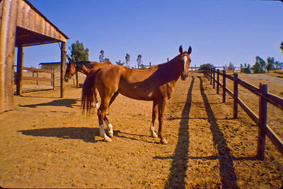 Daughters horses.  Bumann ranch, Olivenhain, California.