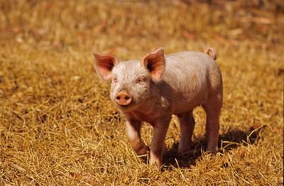 Yorkshire pig.   Bumann ranch, Olivenhain, California.  2003