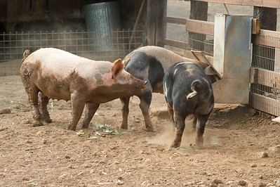 Pigs at feeding bin.  Bumann ranch, Olivenhain, California.  2015
