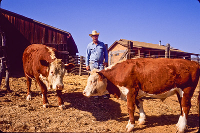 Richard and cattle.  Bumann ranch, Olivenhain, California.  1988