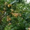 Apricot tree<br /> Bumann ranch, Olivenhain Ca.