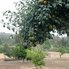 Pear tree which died a year after this photograph was taken.<br /> Bumann ranch in Olivenhain California