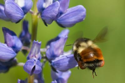 Black-tailed Bumble Bee melanopygus