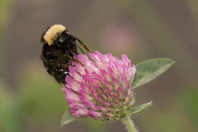 California bumble bee californicus