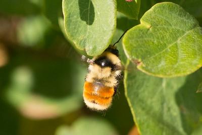 Hunt's Bumble Bee (huntii)