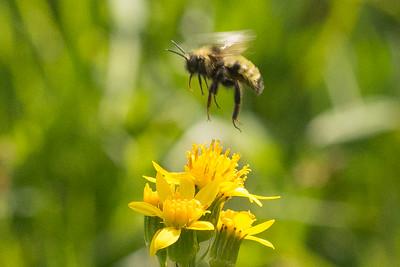 Indiscriminant Bumble Bee insularis