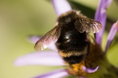 Yellow Face Bee Vosnesenskii