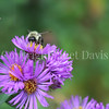 Common Eastern Bumble Bee on