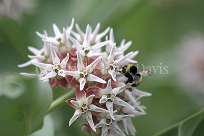 Cryptic Bumble Bee on Showy Milkweed 1