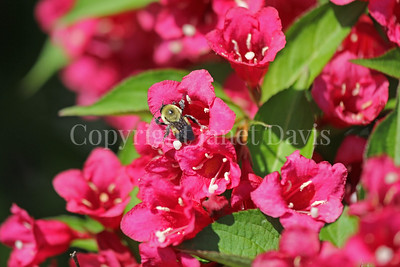 Brown-Belted Bumble Bee on Weigela